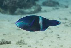 BD-150225-Tiran-6772-Scarus-fuscopurpureus-(Klunzinger.-1871)-[Purple-brown-parrotfish].jpg